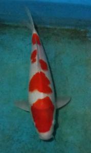 363-skf-blitar-King s variasi-blitar-kohaku-32cm