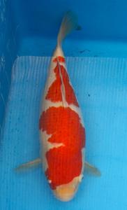 093-wiguna tjandra-bali-ari setyadi18-jakarta-kohaku- 40cm