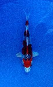 068-Topkoifarm-sby-H.Ali.S.A-sby-kujaku 21cm.