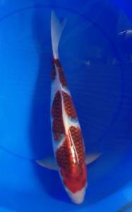 347-Akrimna fish center-akrimna-shona-blitar-koromo-45