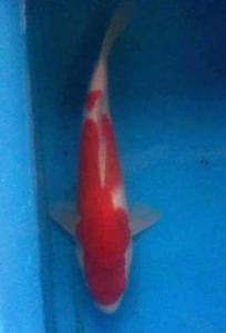 371-skf-blitar-wisnu-surabaya-kohaku-27cm