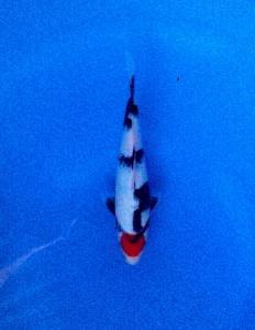 087-Topkoifarm-sby-H.Ali.S.A-sby-Tancho showa 26cm.